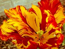 Close up of a yellow and red parrot tulip royalty free stock images