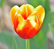 Close-up of yellow and red tulips against green background on a sunny spring day, low depth of field stock image