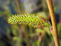 Close up of yellow and red willow catkin Royalty Free Stock Photo