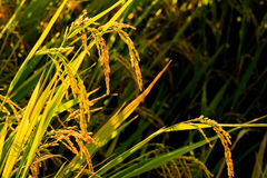 Close up of yellow rice on field in evening Stock Photography