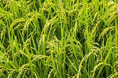Close up yellow rice in green paddy field Stock Photos