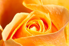 Close up yellow rose Royalty Free Stock Photo