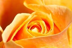Close up yellow rose Royalty Free Stock Photo