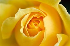 Close up of a yellow rose Royalty Free Stock Photos