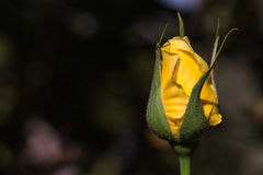 Close up of yellow rose Stock Photography