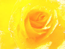 Close up yellow rose with color filters Stock Image