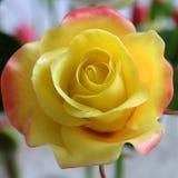 Close up of yellow rose flower Stock Photos