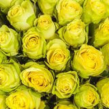 Close up of yellow roses Royalty Free Stock Images