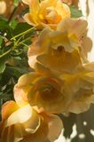 Yellow roses in sunny garden royalty free stock image