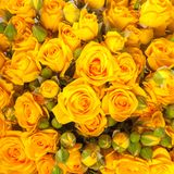 Close up of yellow roses Royalty Free Stock Photo