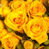 Close up of yellow roses Royalty Free Stock Photos