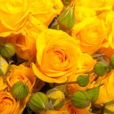 Close up of yellow roses Royalty Free Stock Image