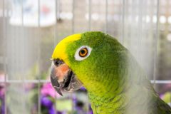 Close-up of Yellow-shouldered Amazon. Royalty Free Stock Photo