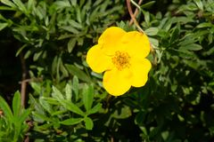 Shrubby Cinquefoil - Dasiphora fruticosa. Close up of a yellow Shrubby Cinquefoil flower. Also known as Bush Cinquefoil, Golden Hardhack, Shrubby Five-finger royalty free stock photo
