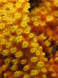 Close up of yellow soft coral. Macro shot of bright yellow soft coral, showing the flower like shape Stock Photos