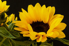 Close up yellow Sunflower on a black background Stock Photo