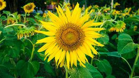 Close up yellow sunflower blooming in sunflower garden background Stock Photography