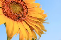 Close up of yellow sunflower Stock Images