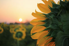 Close up of yellow sunflower Royalty Free Stock Photos