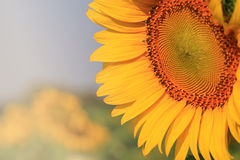 Close up of yellow sunflower Stock Photography