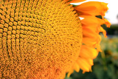 Close up of yellow sunflower Royalty Free Stock Image