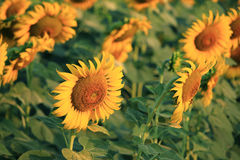 Close up of yellow sunflower Royalty Free Stock Photo
