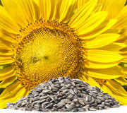 Close up yellow sunflowers and dry seed on white background use Stock Photography