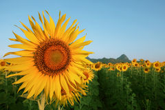 Close up yellow sunflowers petal in plant field with blue sky co Stock Images