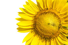Close up yellow sunflowers seed plant isolated white background Stock Photography