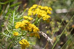 Close up of yellow tansy flowers. On blurred grassland background stock images