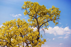 Close up yellow tree with blue sky Stock Photography