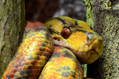 Close-up of a yellow tree boa Royalty Free Stock Photography