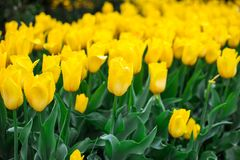 Close up of yellow tulips field after rain stock photography