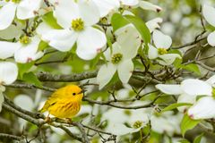 A close up of a Yellow Warbler. A Yellow Warbler perched in a Flowering Dogwood Tree in Spring Stock Photo