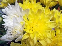 Yellow and white chrysanthemums. stock image