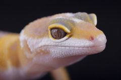 Close-up of yellow and white gecko Stock Photo