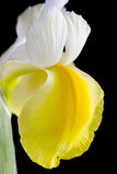 Close up yellow and white iris flowe Royalty Free Stock Image