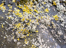 Close up of yellow and white moss fungus growing on black lid Royalty Free Stock Photos