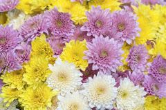 Close up of Yellow white and pink Chrysanthemum daisy flower, Beautiful huge bouquet of Chrysanthemum floral botanical flowers and. Colorful background pattern royalty free stock image