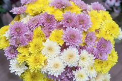 Close up of Yellow white and pink Chrysanthemum daisy flower, Beautiful huge bouquet of Chrysanthemum floral botanical flowers and. Colorful background pattern royalty free stock images