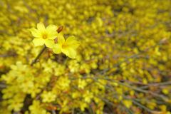 Winter Jasmine flower. The close-up of yellow Winter Jasmine flower. Scientific name: Jasminum nudiflorum Royalty Free Stock Image