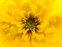 Close up of Yellow Zinnia stock images