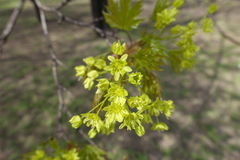 Close-up of yellowish green flowers of maple. Close up of yellowish green flowers of maple royalty free stock photography