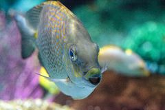 Close up of a Yellowspot rabbitfish Siganus guttatus Stock Photography