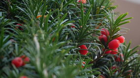 Close up of yew tree royalty free stock image