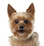 Close-up of Yorkshire Terrier, 9 years old Stock Photography