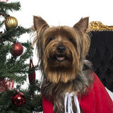Close-up of a Yorkshire Terrier in a christmas setting, panting. Isolated on white royalty free stock image