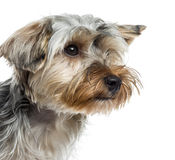Close up of Yorkshire Terrier Stock Photography
