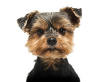 Close-up of a Yorkshire Terrier looking severly at the camera Stock Photos