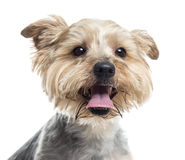 Close up of a Yorkshire Terrier panting, isolated Stock Photography